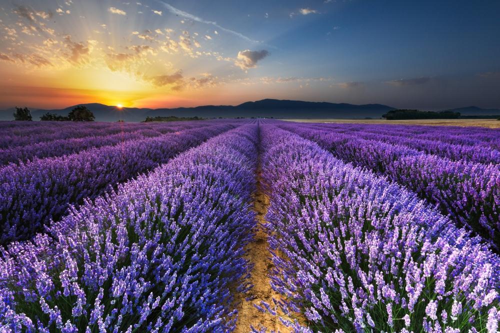 Рассвет на лавандовом поле в окрестностях Валенсоля, Прованс